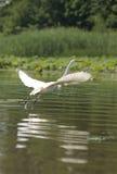 采取白色的白鹭飞行 免版税库存照片