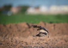 采取短程飞行的幼小挖洞的猫头鹰之子 库存照片