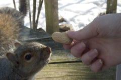 采取花生的灰鼠在人的手外面 免版税库存图片