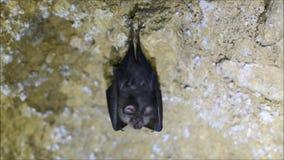 采取飞行的一点马蹄型蝙蝠Rhinolophus蹄蝠属 股票视频