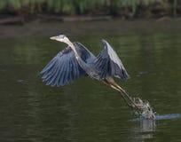 采取飞行的伟大蓝色的苍鹭的巢 免版税图库摄影