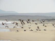 采取飞行的海鸥群  库存照片
