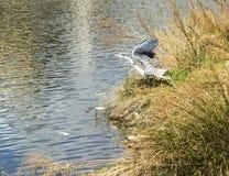 采取飞行的灰色苍鹭 库存照片