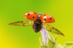 采取飞行的瓢虫 免版税库存照片