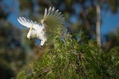 采取飞行的硫磺有顶饰美冠鹦鹉 库存照片