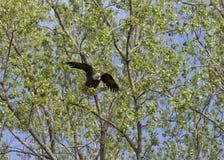 采取飞行的老鹰 免版税库存照片