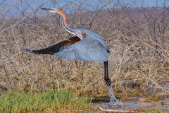 采取飞行,巴林戈湖,肯尼亚的巨人苍鹭 免版税库存照片