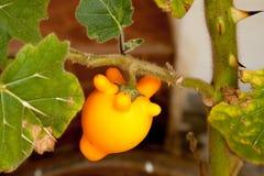 在庭院的乳房果子。 库存图片