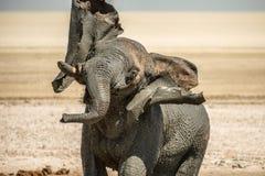 采取mudbath的大象 库存图片