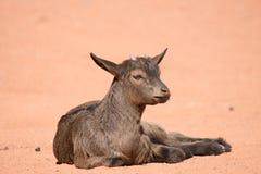 采取Sunbath的山羊 免版税库存图片