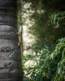 采取sunshower的蜥蜴 免版税库存照片
