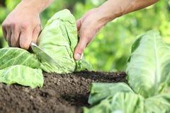 采摘一棵圆白菜的手在菜园里, 图库摄影