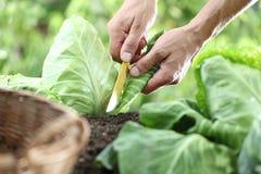 采摘一棵圆白菜的手在菜园里, 库存照片