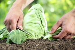 采摘一棵圆白菜的手在菜园里, 库存图片