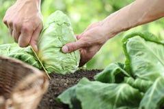 采摘一棵圆白菜的手在菜园里 免版税图库摄影