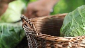 采摘一棵圆白菜的手在菜园,在柳条筐,关闭收集并且举起 影视素材