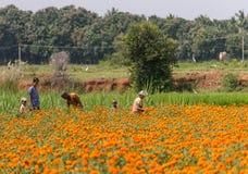 采摘万寿菊花在Ranganathapur,印度 图库摄影