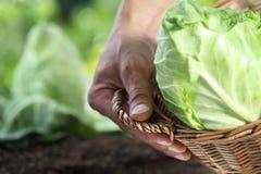 采摘与篮子的手一棵圆白菜在菜园里, 库存图片