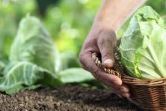 采摘与篮子的手一棵圆白菜在菜园里 免版税库存照片