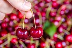 采摘两棵樱桃 库存照片