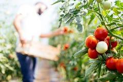 采摘从他的温室庭院的男性农夫新鲜的蕃茄 库存照片