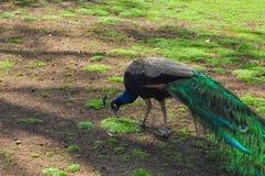采摘从地面的公孔雀一些食物 免版税图库摄影