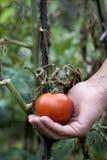 采摘从植物的年轻人一个蕃茄 免版税图库摄影