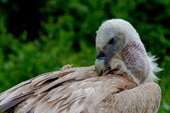 采摘他的与他的峰顶的欺骗fulvus羽毛 免版税库存照片