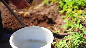 采摘土豆的农夫在农厂庭院在乡下 农业、园艺和本地出产的概念 影视素材