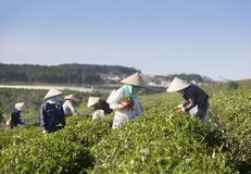 采摘在一个夏天下午的一个小组农夫茶在Cau Dat茶园 免版税库存图片