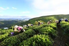 采摘在一个夏天下午的一个小组农夫茶在Cau Dat茶园 图库摄影