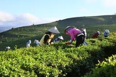 采摘在一个夏天下午的一个小组农夫茶在Cau Dat茶园 库存照片