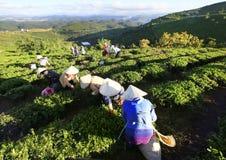 采摘在一个夏天下午的一个小组农夫茶在Cau Dat茶园 库存图片