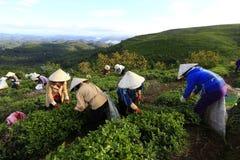 采摘在一个夏天下午的一个小组农夫茶在Cau Dat茶园 免版税图库摄影