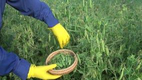 采摘在柳条筐的人新鲜的豌豆 股票视频