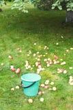 采摘在桶的苹果收获在果树园 图库摄影