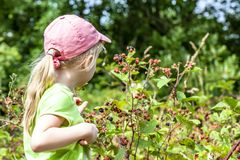 采摘在领域的小女孩新鲜的狂放的莓在丹麦-欧洲 免版税库存图片