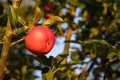 采摘垂悬在圣诞树的成熟红色苹果准备好在秋天收获 库存图片