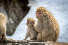 采摘壁虱的猴子 库存照片