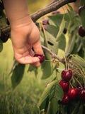 采摘成熟樱桃的孩子手 免版税库存图片