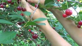 采摘成熟樱桃的樱桃树在特写镜头的,录象剪辑果树园 股票录像