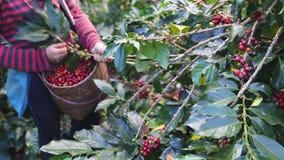 采摘成熟樱桃豆的咖啡农夫 股票录像