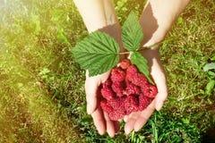 采摘成熟莓的妇女的手在庭院里 库存图片