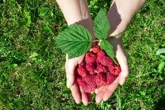采摘成熟莓的妇女的手在庭院里 库存照片