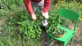 采摘新鲜的医疗茴香海索草藿香foeniculum的花匠 股票录像