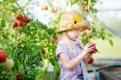 采摘新鲜的成熟有机蕃茄的可爱的小女孩佩带的帽子自一间温室在夏天晚上 库存图片