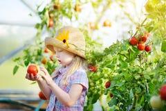 采摘新鲜的成熟有机蕃茄的可爱的小女孩佩带的帽子自一间温室在夏天晚上 免版税库存图片