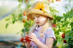 采摘新鲜的成熟有机蕃茄的可爱的小女孩佩带的帽子自一间温室在夏天晚上 库存照片