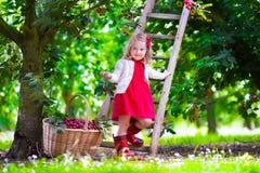 采摘新鲜的樱桃莓果的小女孩在庭院里 免版税图库摄影