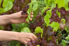 采摘新鲜的莴苣的手在庭院里 免版税库存照片